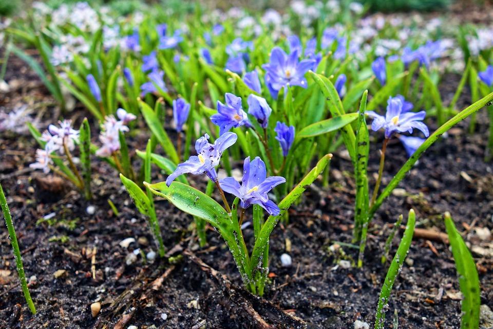 Chionodoxa Forbesii, Glory-of-the-snow, Flower