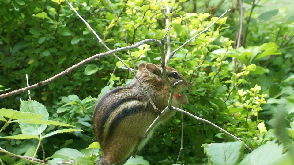 Chipmunk, Cute, Rodent, Mammal, Nature, Wildlife