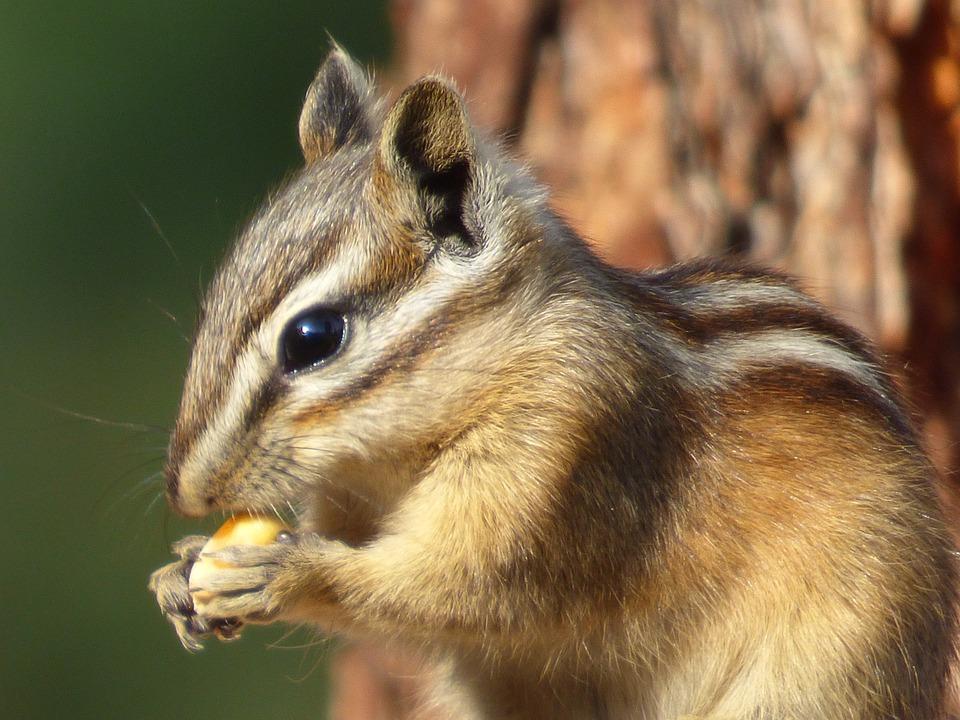 Chipmunk, Animal, Forest, Nature, Eat