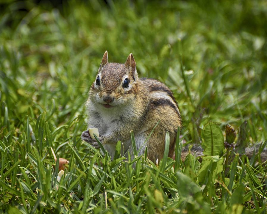 Hungry Chipmunk, Green Grass, Chipmunk Pokes, Chipmunk