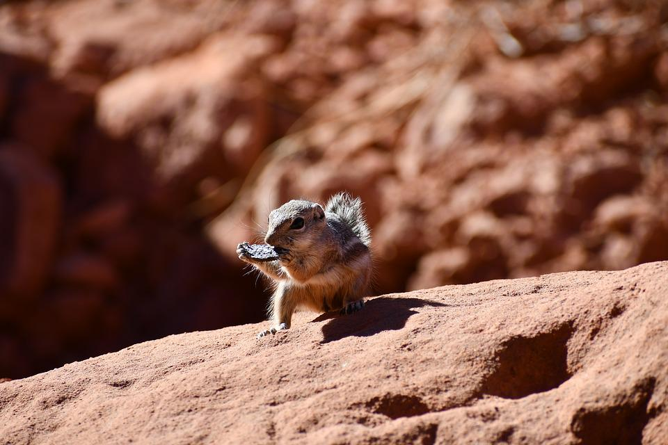 Chipmunk, Eating Oreo, Valley Or Fire Cabin Picnic Area
