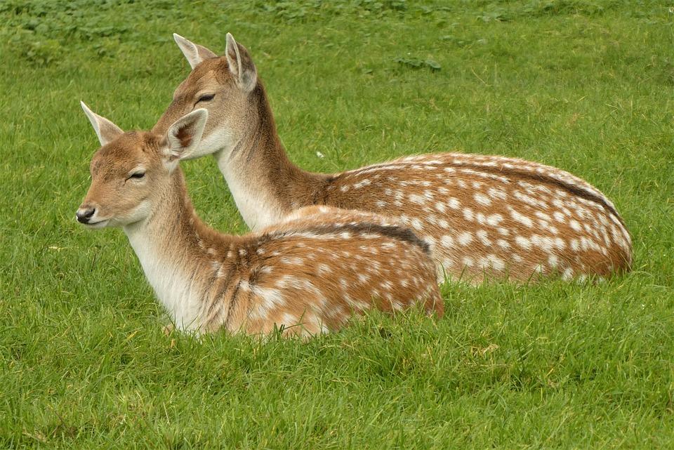Deer, Fallow, Pair, Chital, Axis, Axis Deers, Pastures