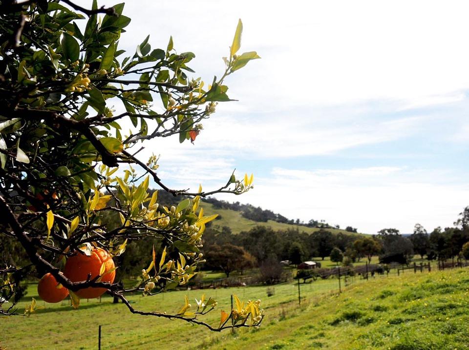 Western Australia, Chittering Valley, Gumtrees