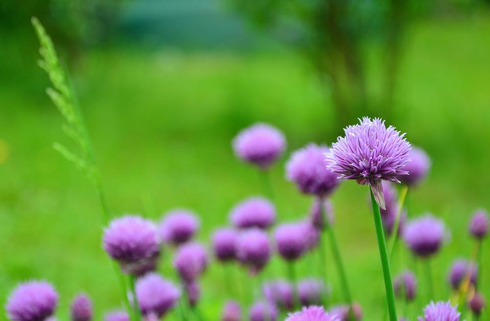 Chives, Chive Flowers, Herb Garden, Purple, Herbs
