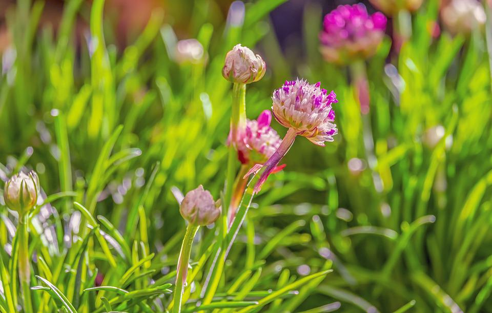 Chives, Flowers, Chive Flowers, Plant, Culinary Herbs