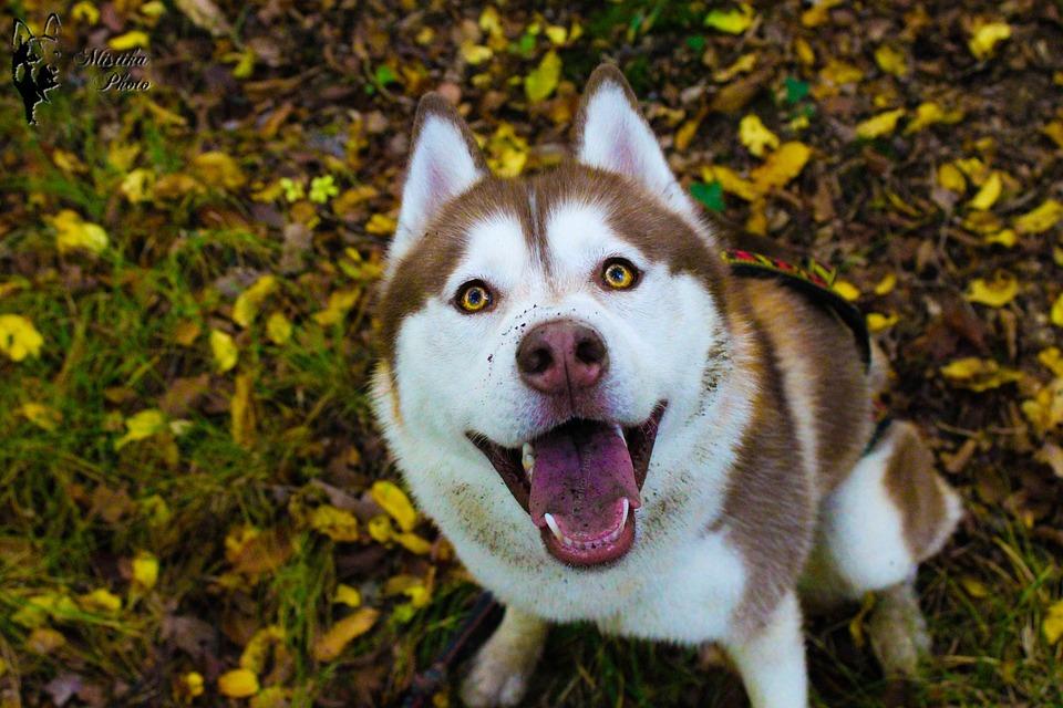 Husky, Huskies, Dog, Chocolate