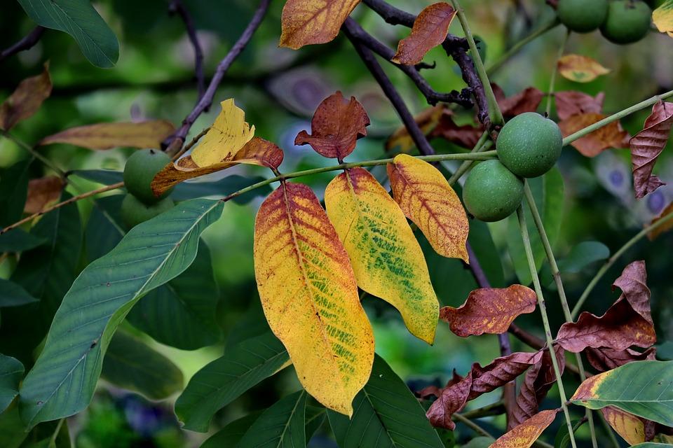 Choice Of Nut, Leaves, Fruits, Leaf