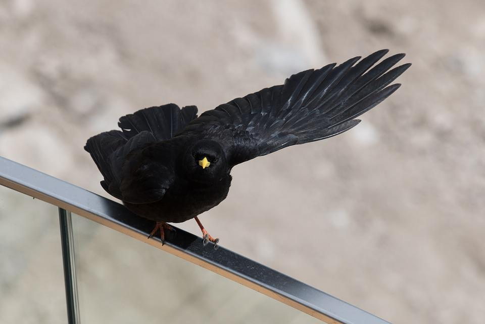 Bird, Wing, Animal World, Nature, Animal, Chough