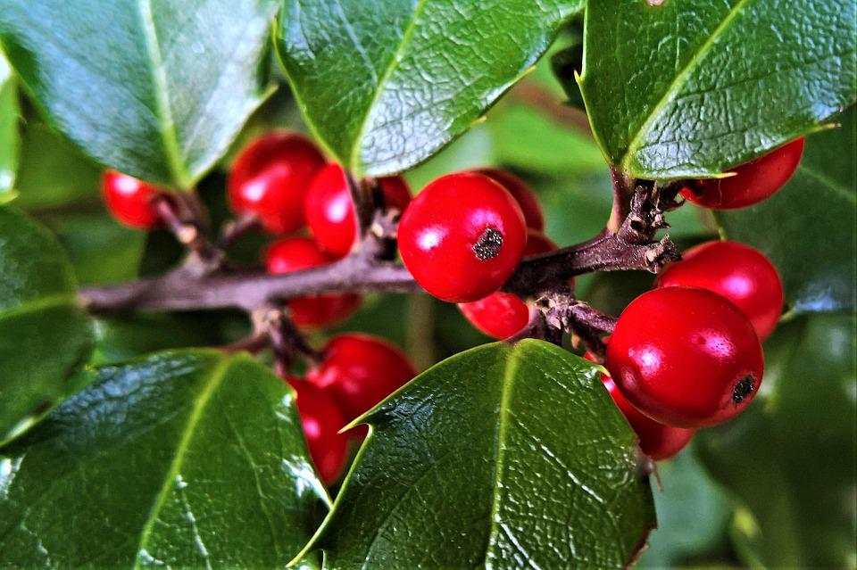 Holly, Berry Red, Ilex, Christdorn, Bush