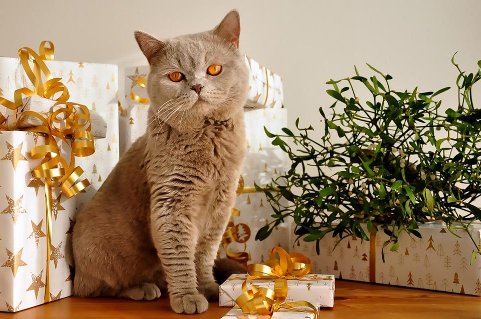 Cat, Christmas, Pet, Gifts, British Shorthair