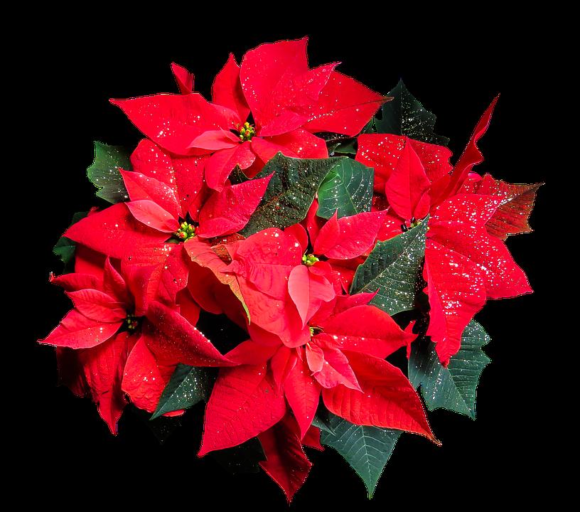 Flower, Poinsettia, Plant, Blossom, Bloom, Christmas
