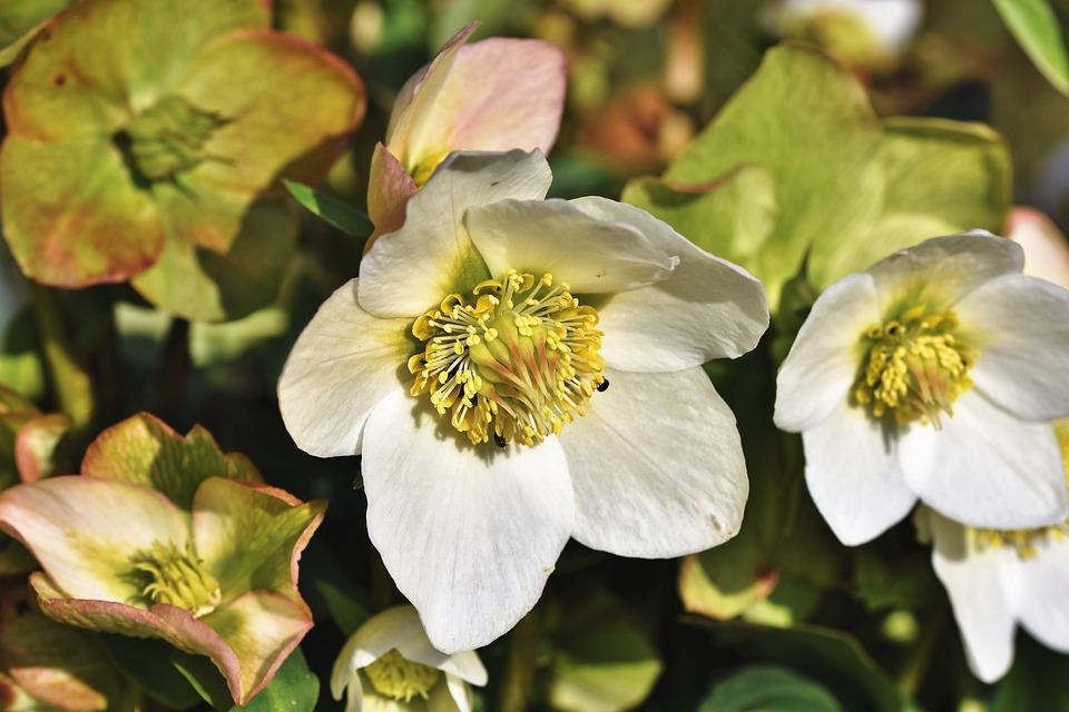 Christmas Rose, Anemone Blanda, Winterblueher
