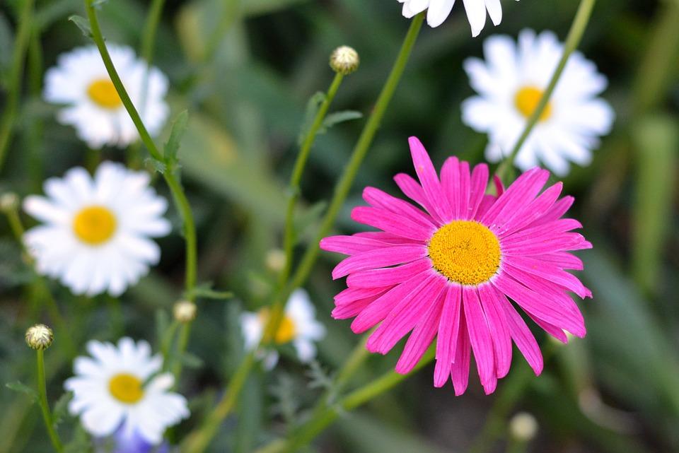 Flower, Chrysanthemum, Plant, Garden, A Garden Plant