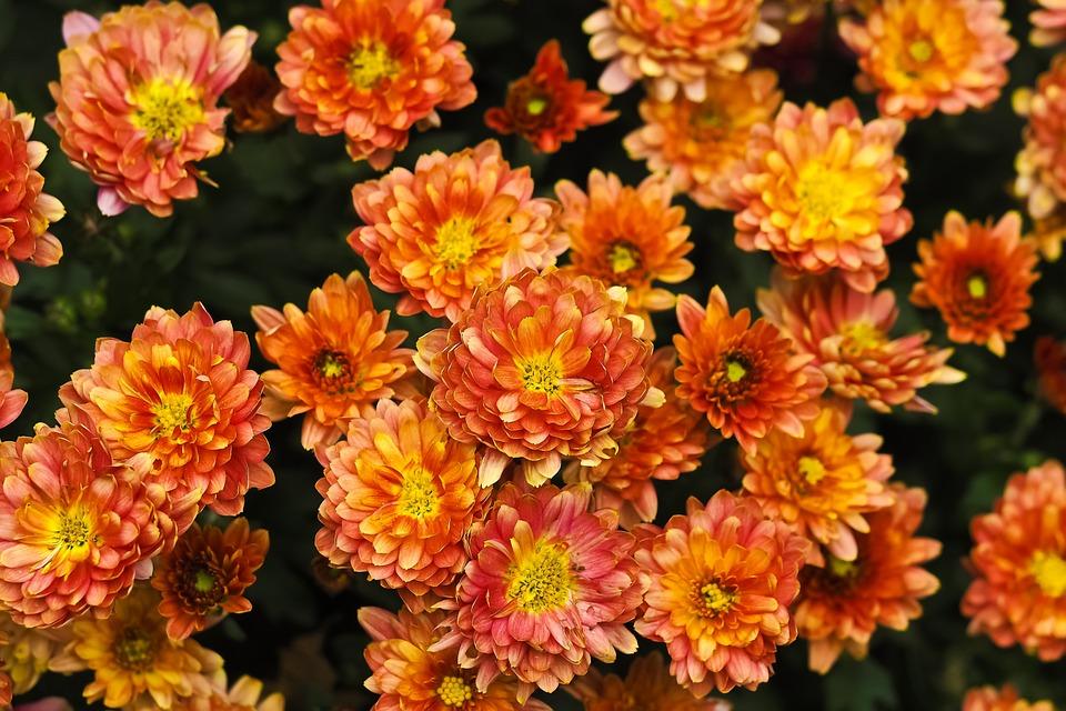 Chrysanthemum, Flower, Blossom, Bloom, Aster, Nature