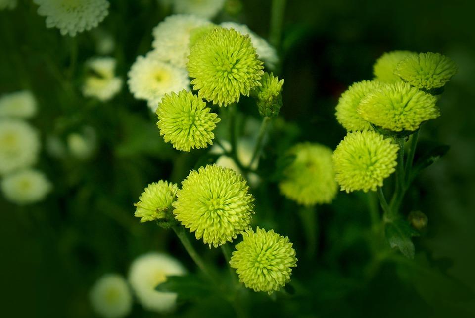 Chrysanthemum, Cuc Bi, Blue Daisy
