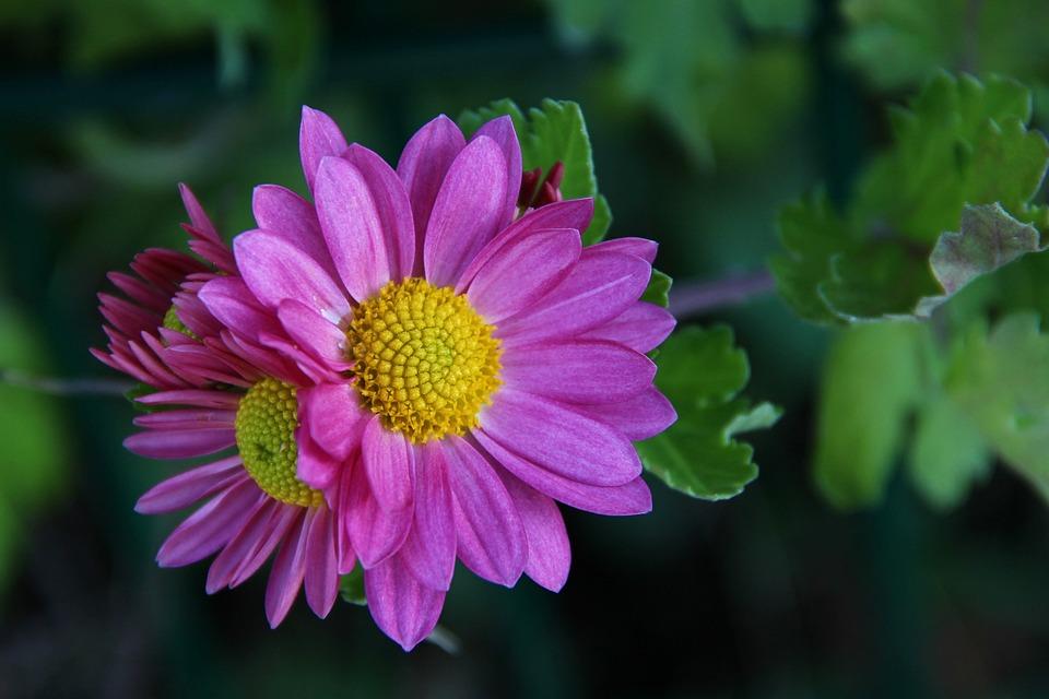 Chrysanthemum, Pink, Blossom, Bloom, Flower, Autumn