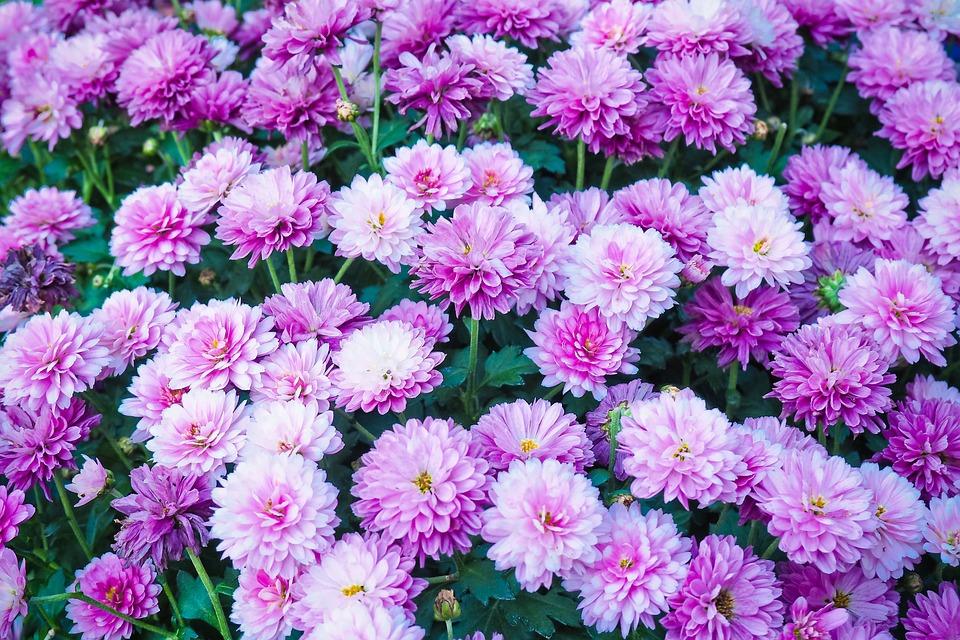 Flowers, Chrysanthemum, Plant, Blossom, Bloom, Nature