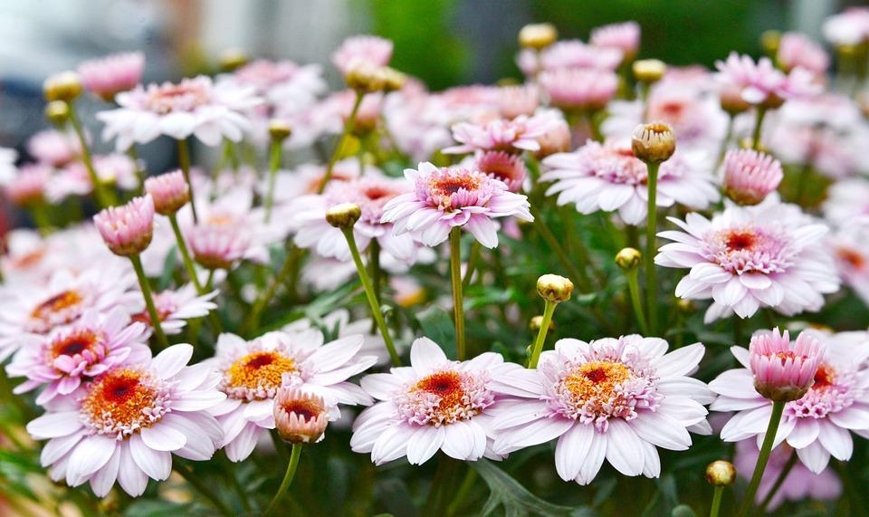 Chrysanthemum, Flower, Flowers, Chrysanthemums, Nature