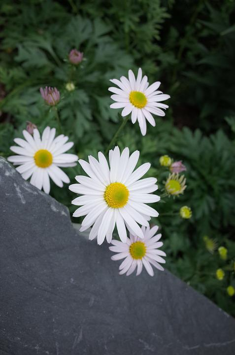 Gujeolcho, Chrysanthemum, Flowers, Nature