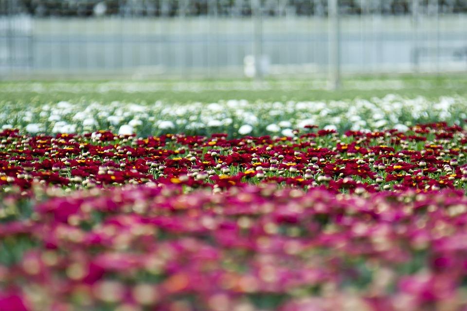Greenhouse, Chrysanthemum, Blossom, Bloom, Horticulture