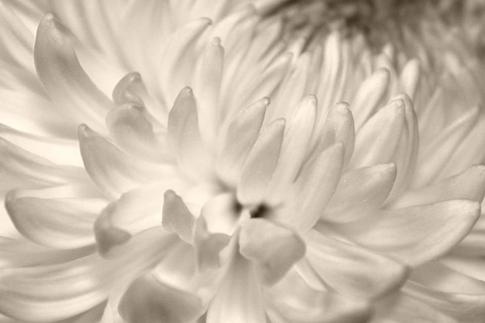 Petals, Chrysanthemum, Flower, Opened, Blooming, Bloom