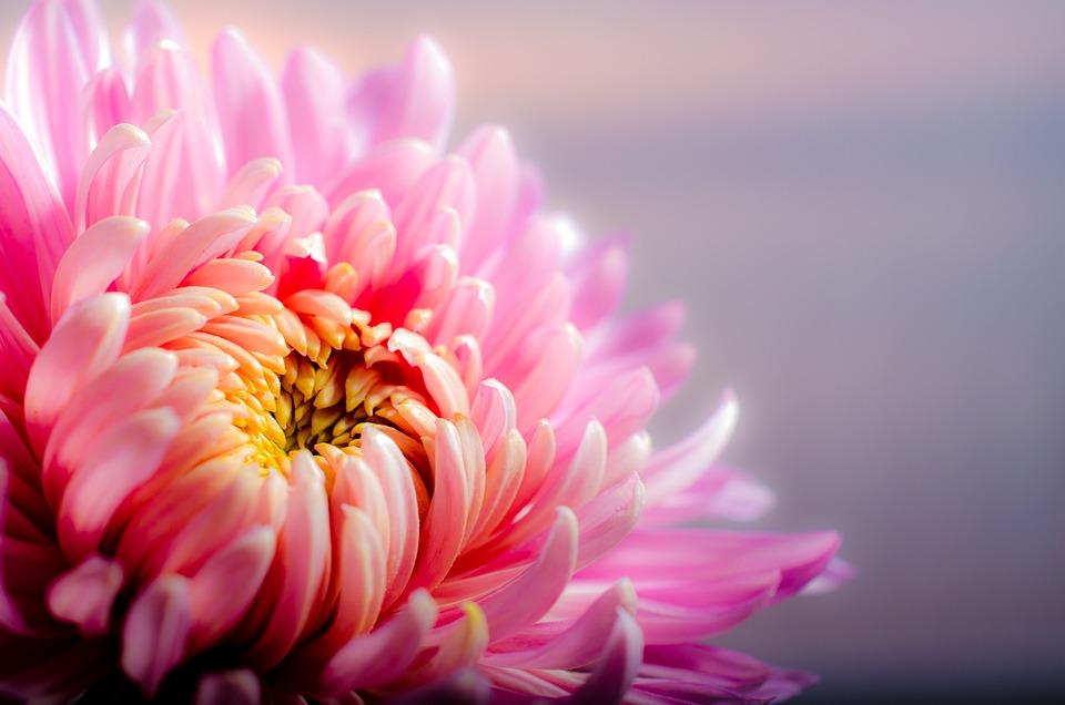 Chrysanthemum, Autumn, Pink