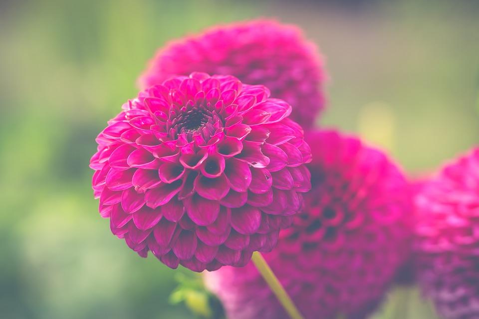 Free photo Chrysanthemum Pink Flower Flowers Chrysanthemums - Max Pixel