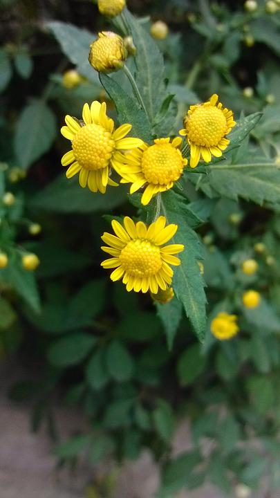 Green, Plant, Chrysanthemum, Yellow