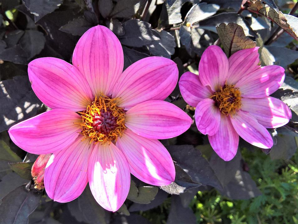 Flower, Chrysanthemum, Pretty Daisy, Large Flowers