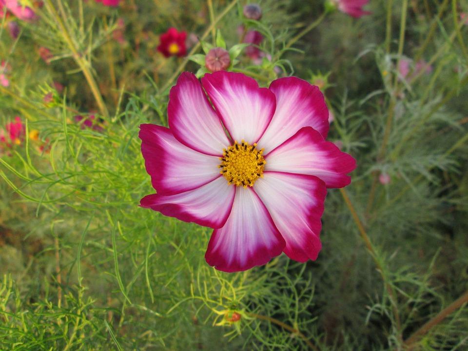 Chrysanthemum, Pink, Red, Plant, Flower, Flowers
