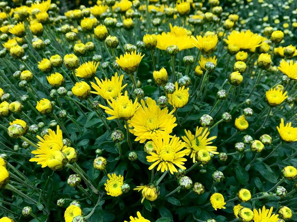 Chrysanthemum, Yellow, Autumn, Flowers, Garden