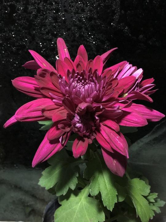 Chrysanthemum, Chrysanthemums, Flowering, Plant, Flora