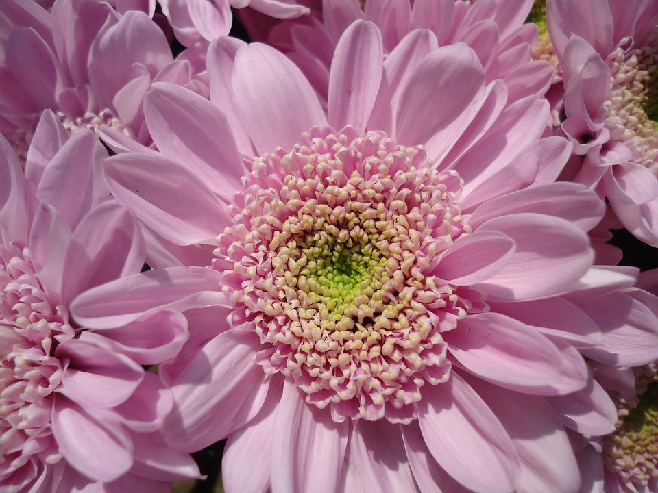 Flower, Chryzanténa, Purple, Chryzanthemum
