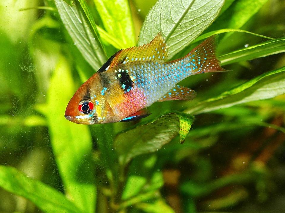 Free Photo Cichlid Nature Animals Fish Aquarium Green Water Max Pixel