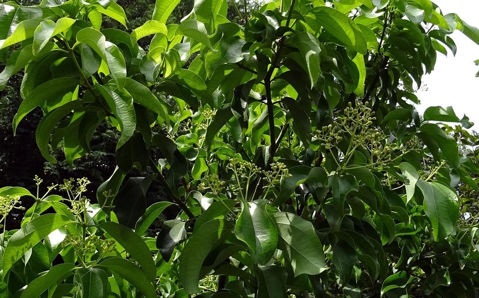 Indian Bay Leaf, Cinnamon, Cinnamomum Tamala
