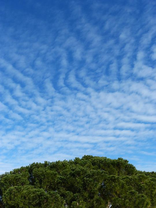 Sky, Cirrostratus, Wind, Top Of A Pine, Pine