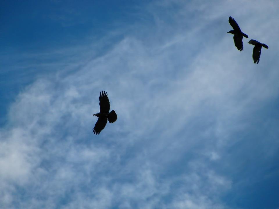 Raven, Bird, Birds, Flight, Sky, Clouds, Cirrus, Colors