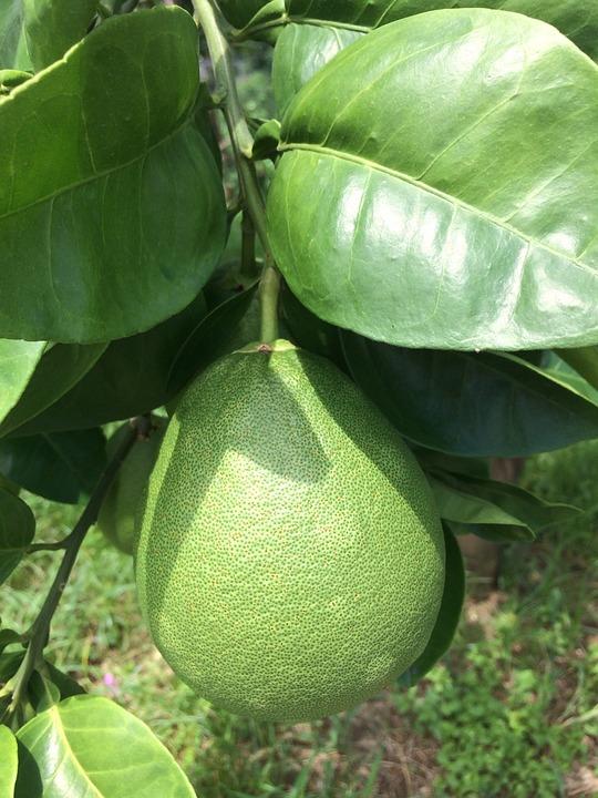 Grapefruit Trees, Citron Leaf, Grapefruit Grapefruit