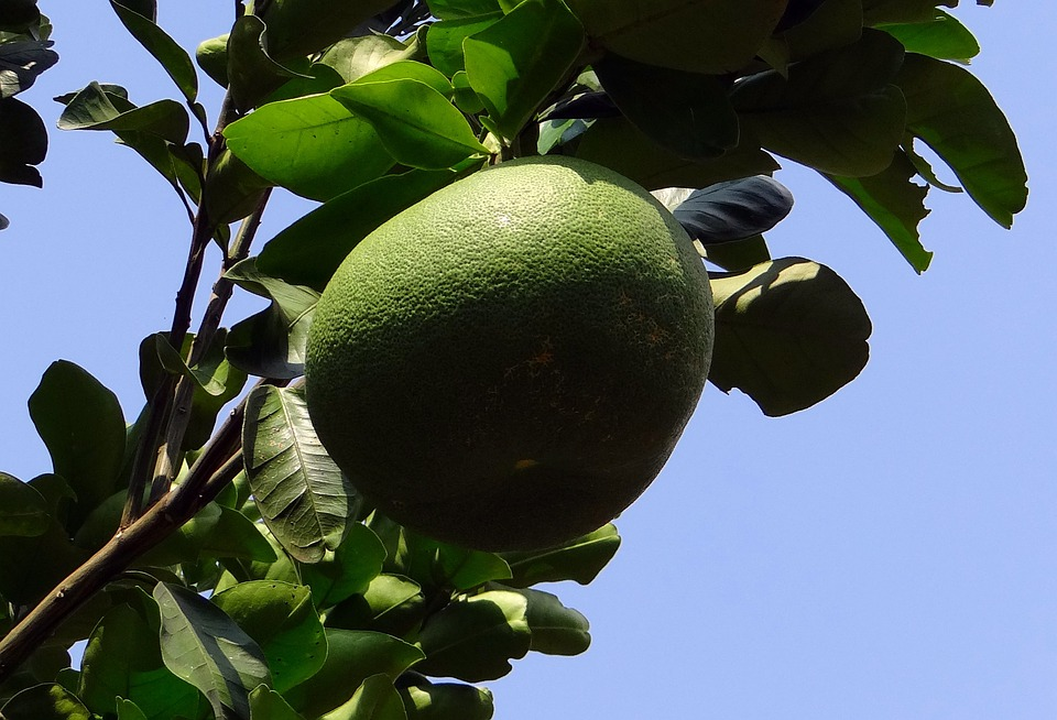 Grapefruit, Citrus Paradisi, Subtropical, Citrus, Fruit