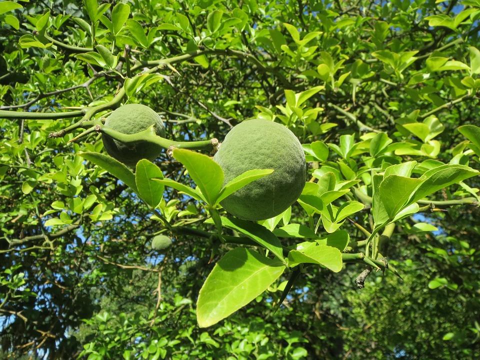 Citrus Trifoliata, Trifoliate Orange