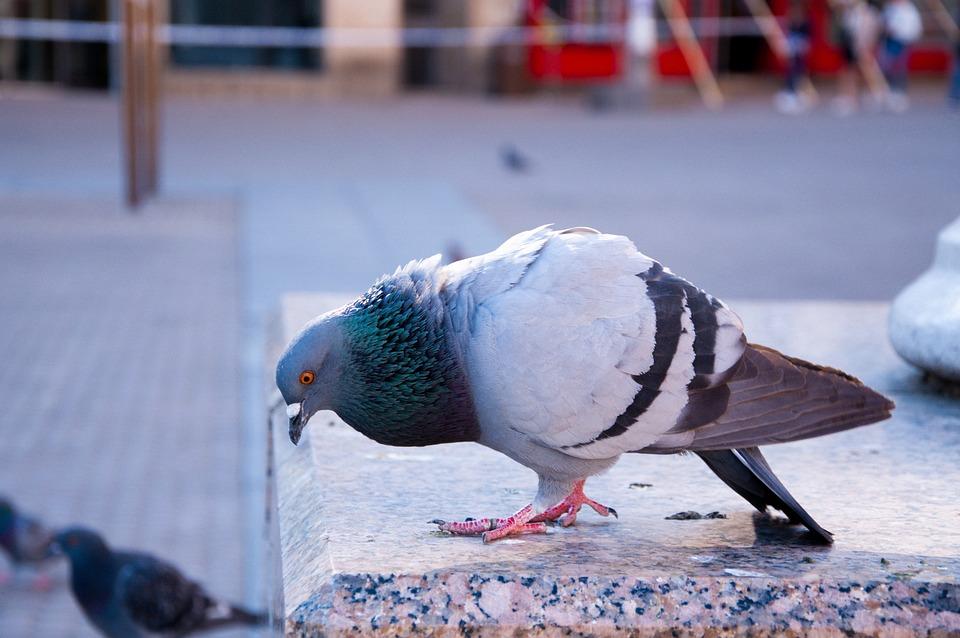 Pigeon, City, Bird, Animal, Feather, Urban, Beak