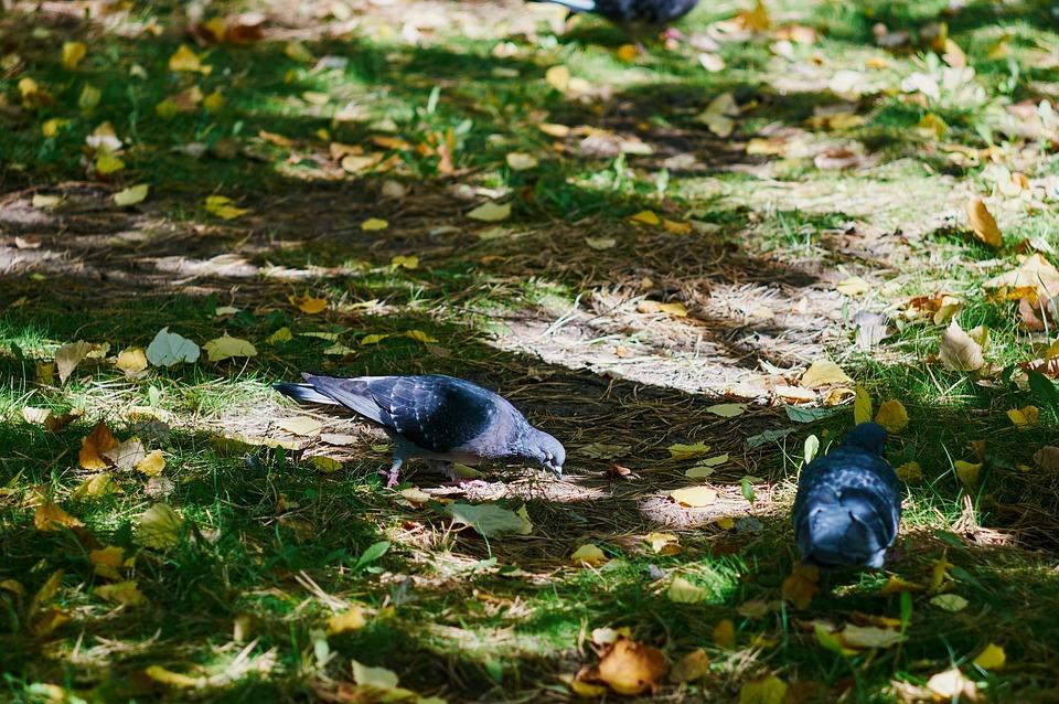 Dove, Autumn, Park, City, Tree