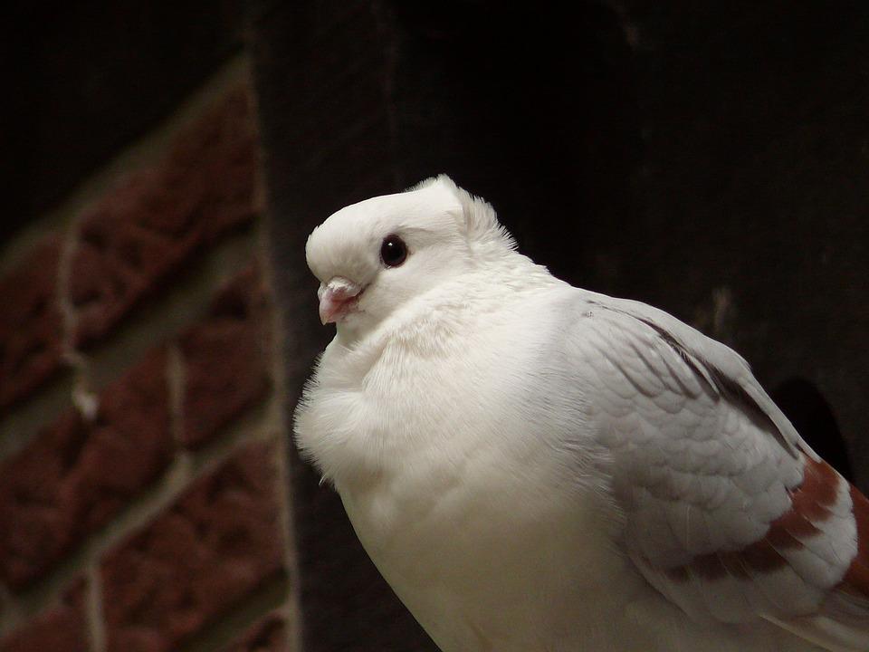 Dove, Bird, City Pigeon, Wall, Nature, Fluffed Up