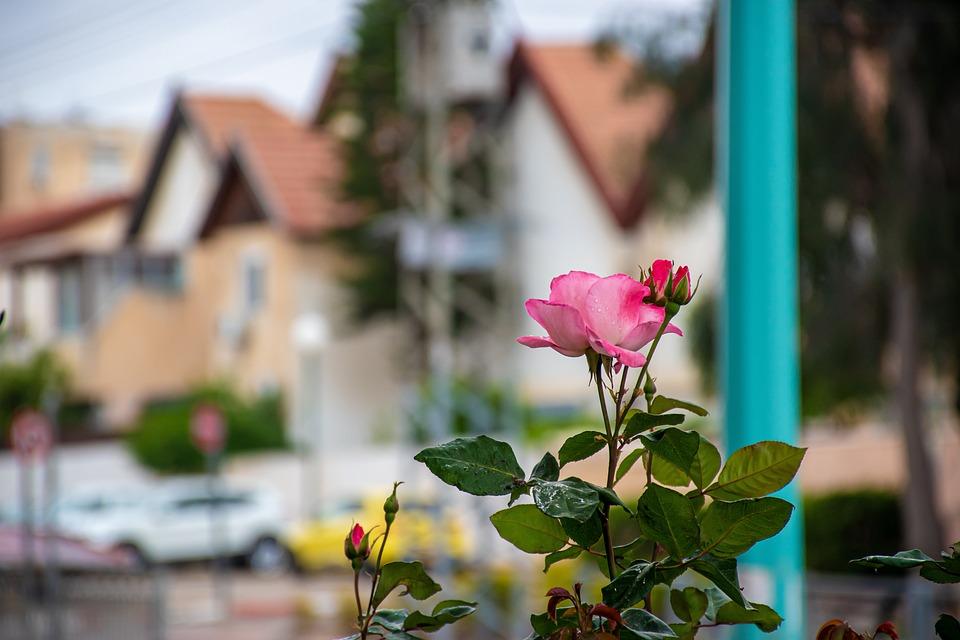 Rose, Town, Flower, Urban, City, Plant, Modern