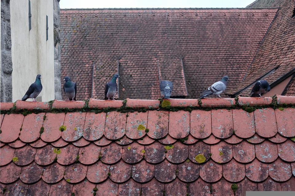 Pigeons, Roof Pigeons, Roof, Roofs, Historically, City