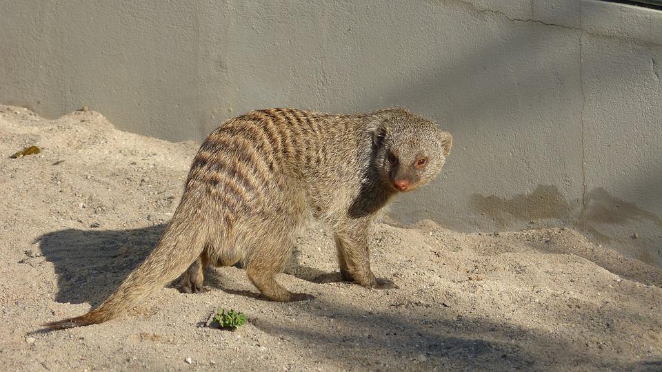 Animal, Mammal, Civets, Mongoose, Predator, Hunter