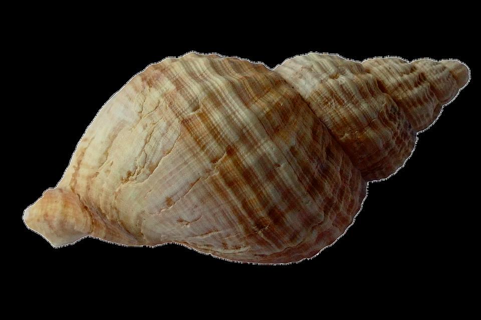 Sea, Shell, Clam, Ocean, Sea Shells, Beach, Sand