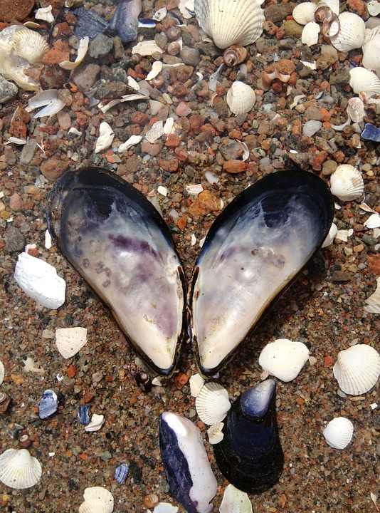 Blue Mussel, The West Coast, Heart, Shell, Clam, Snails