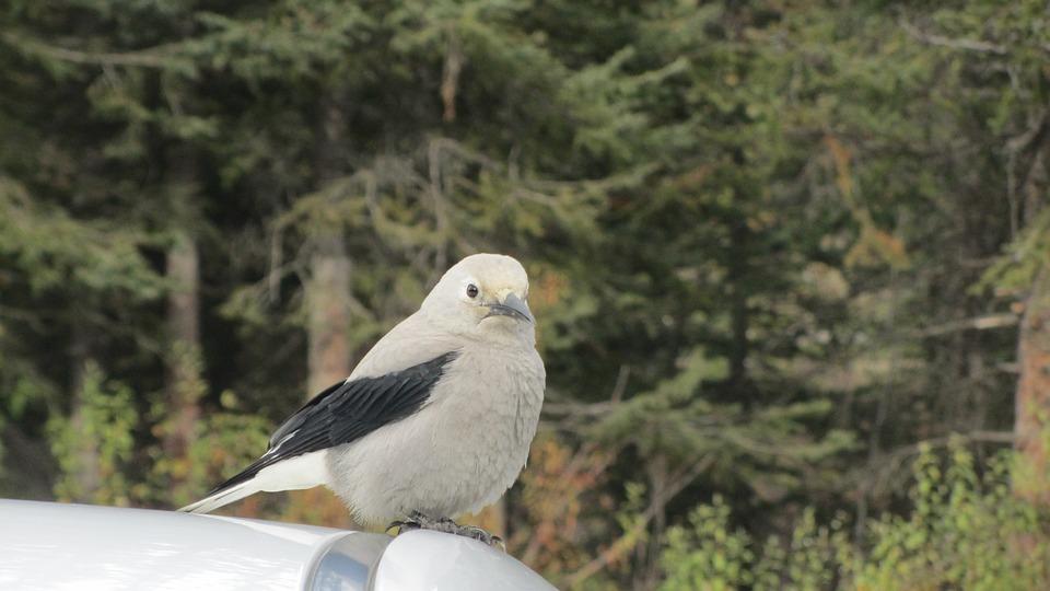 Clark's Nutcracker, Bird, Grey, Animal, Nature, Fluffy