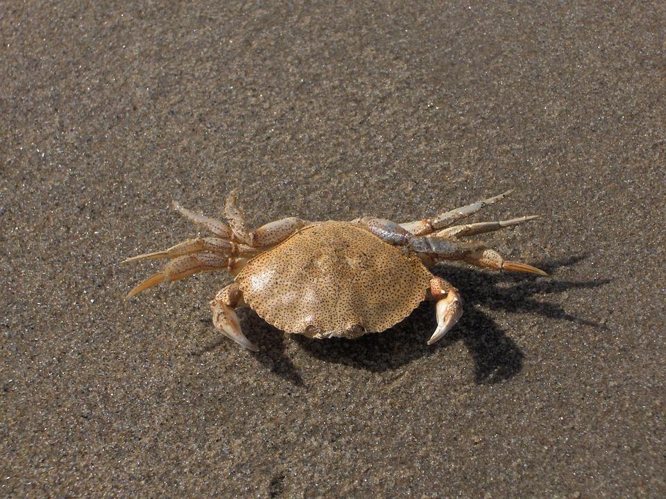 Crab, Crustacean, Sand, Aquatic, Wildlife, Nature, Claw